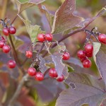 Highbush cranberries or Viburnum trilobum