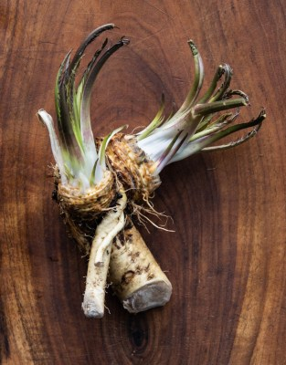 Horseradish root with edible shoots