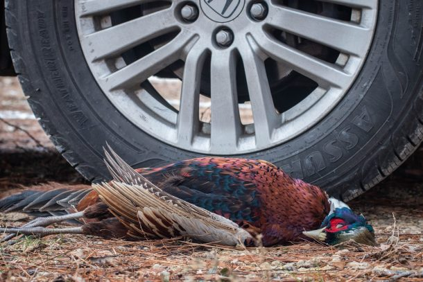 dead roadkill pheasant by a car tire