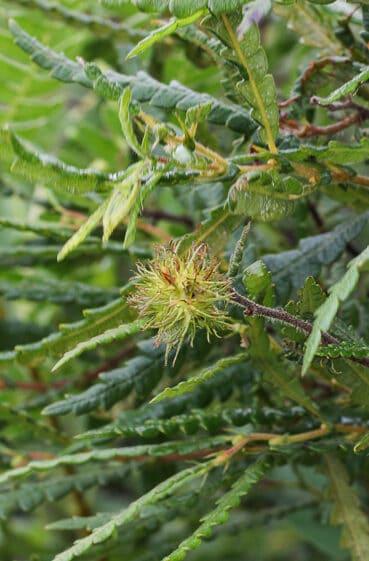 Sweetfern nutlets