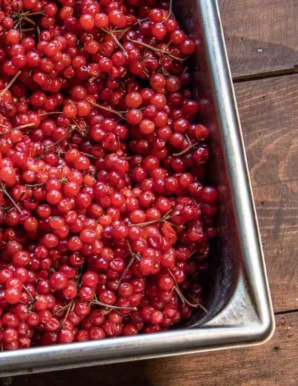 Highbush cranberries or Viburnum trilobum