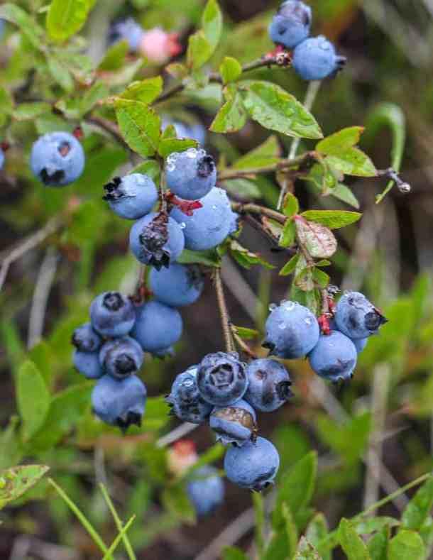 Wild lowbush blueberries Vaccinium angustifolium