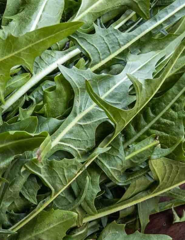 Wild Chicory or Chicorium intybus