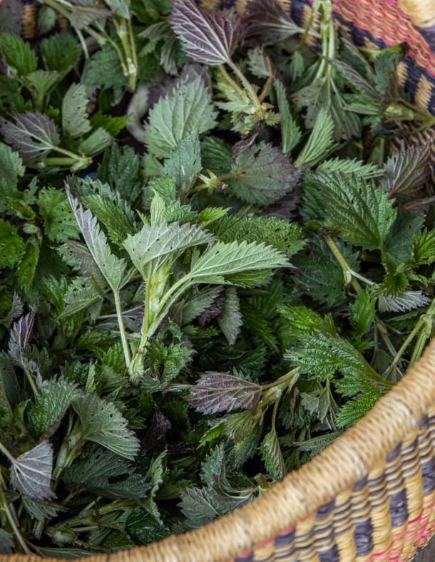 A basket of common nettles (Common nettles Urtica dioica)