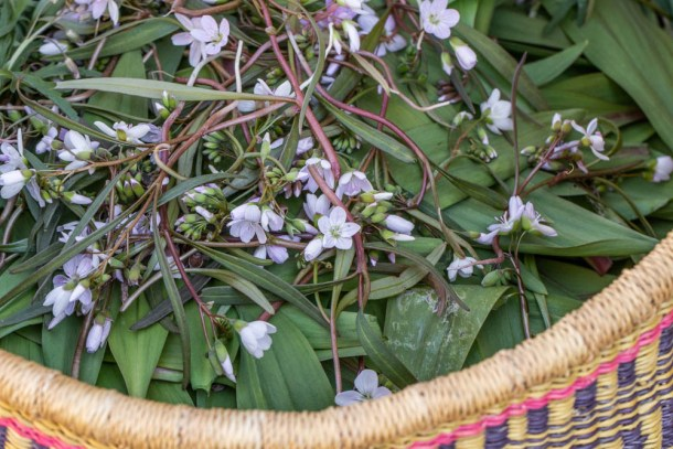 A basket of spring beauty and ramp leaves