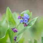 Edible Virginia bluebells or Mertensia virginica