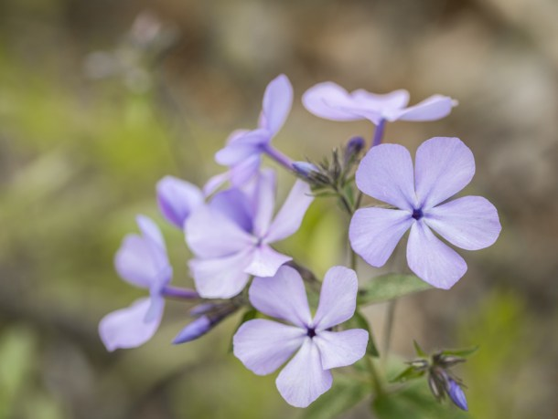 Wild edible phlox flowers