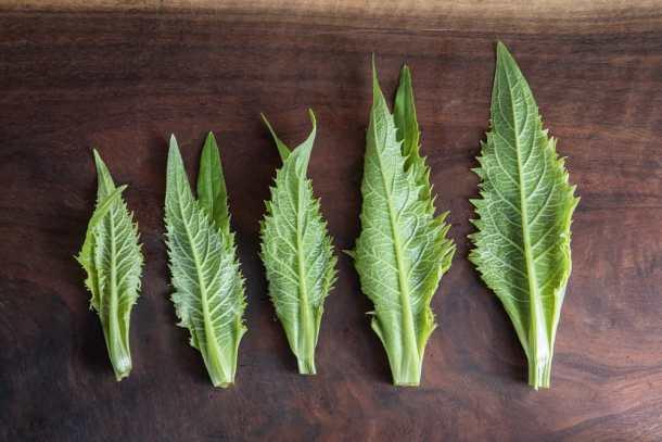 Tender top meristems of Silphium perfoliatum