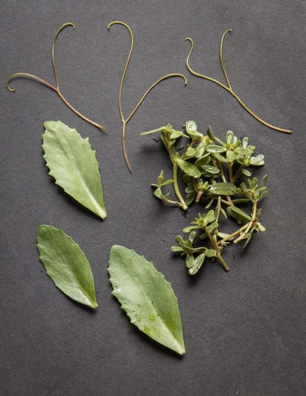 Edible garden weeds: purslane, stonecrop/orpine/sedum and wild grape vine tendrils