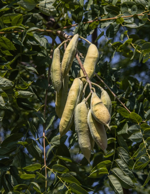 Green or unripe Kentucky coffee tree pods on the tree