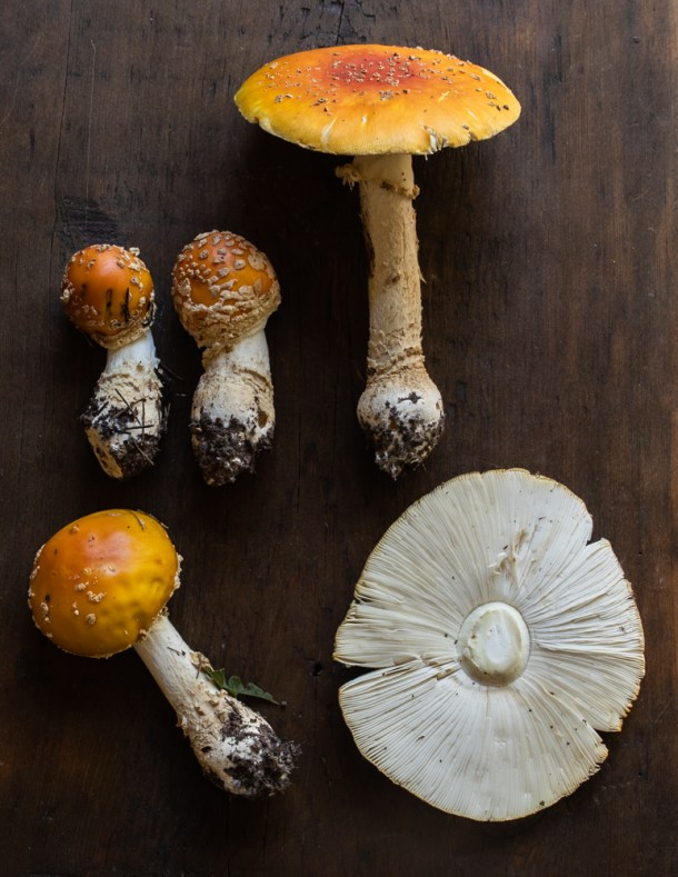 Young and mature Amanita muscaria guessowii