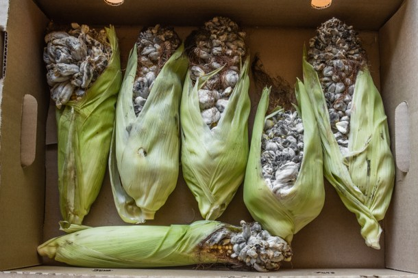 A box of commercial huitlacoche ears from Mushroom Mike LLC