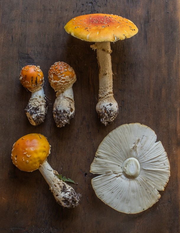 Amanita muscaria guessowii