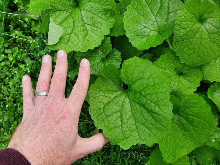 Garlic mustard leaf with hand for scale