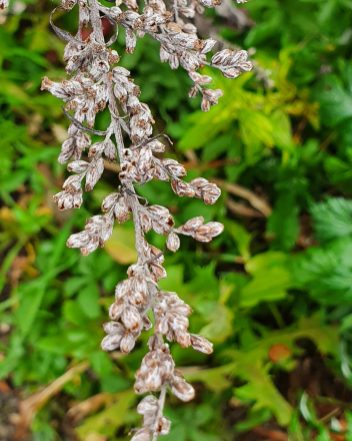 Mugwort dried flowers