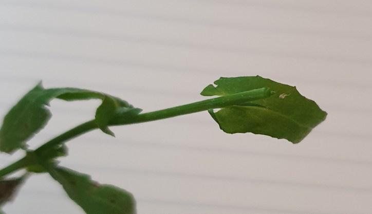 Shepherd's purse leaf surrounding the stem