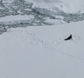 Weddell seal, with seal and penguin tracks in the snow