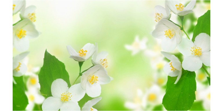 Iasomia - Florile albe de iasomie in campul inverzit