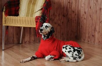 Dalmatian in a red sweater in the autumn interior
