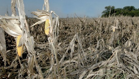 corn-damaged