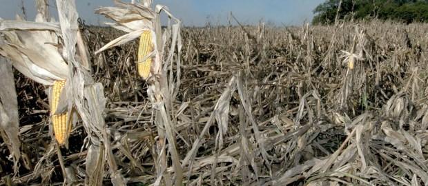corn-damaged