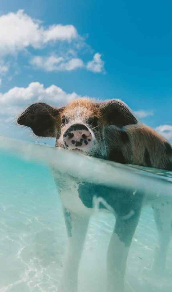 Vertical swimming pig on Big Major Cay in The Bahamas