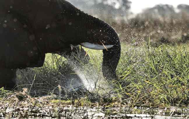 Elephant playing in water in Botswana