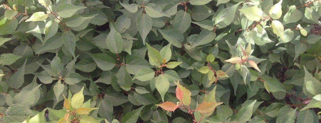 Capilano Apricot seedlings