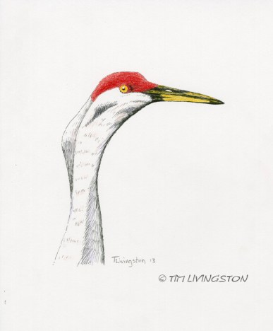 pen and ink, colored pencil, sandhill crane, crane, wildlife, nature, photography, Poison Lake, Ash Creek Wildlife Refuge