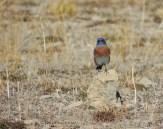 Western bluebird, birding, nature, wildlife, photography