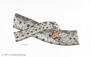 gopher snake, snake, wildlife, pen and ink, art, drawing