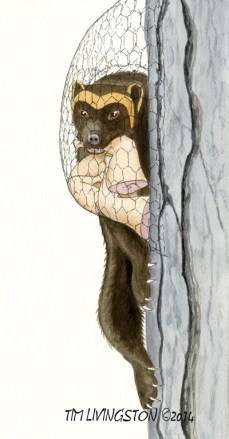 Buddy and the Magic Chicken Tree, Buddy the Wayward Wolverine, watercolor, watercolour, children's picture book, wolverine, gulo gulo