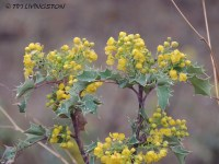 Dwarf Oregon Grape,