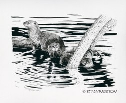 pen and ink, otter, wildlife, nature, ink, pen & ink, drawing, animals