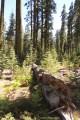 true fir, fir, red fir, white fir, forestry, Lassen National Forest, sugar pine, jeffery pine