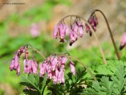 bleeding hearts, wildflowers