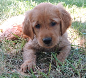 golden retriever puppy, golden retriever, dog, puppy