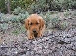 Golden retriever, puppy. retriever, forester, logs