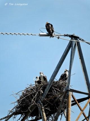 osprey, bird strike, osprey nest
