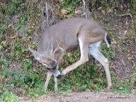buck, black tail deer, French Gulch