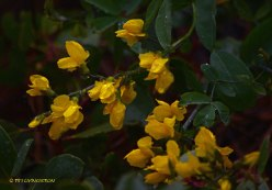 Scotch Broom.