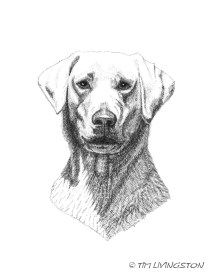 yellow lab, Labrador retriever, lab, hunting dog, dog, portrait, pen and ink, ink drawing
