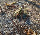 Our Edgeworthia in late February.