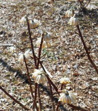March 15, notice the golden bell like structure to the flowers, now opening.