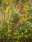 Hydrangea blossoms poking through a Rose of Sharon shrub