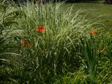 Daylily and grasses