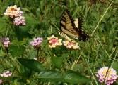 July 20, 2014 butterflies 042