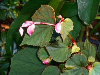 September 15, 2015 Begonias blooming 001