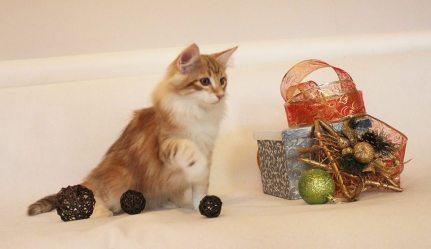 Kot norweski leśny amber
