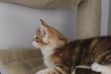 Kot norweski rudy z białym